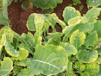 Manganese toxicity in canola at Wellington, 2003. YML tissue manganese was 758 mg/kg.