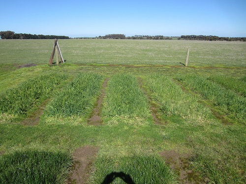 : Visible responses to nitrogen in phalaris in PGG Wrightson Seeds'  Lismore trial in 2017. Treatments left to right: 200 kg/ha of urea, 130 kg/ha of urea, nil  and 65 kg/ha of urea.