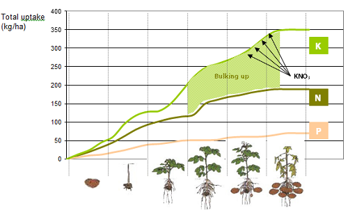 Figure 1: Macronutrient uptake during potato crop growth