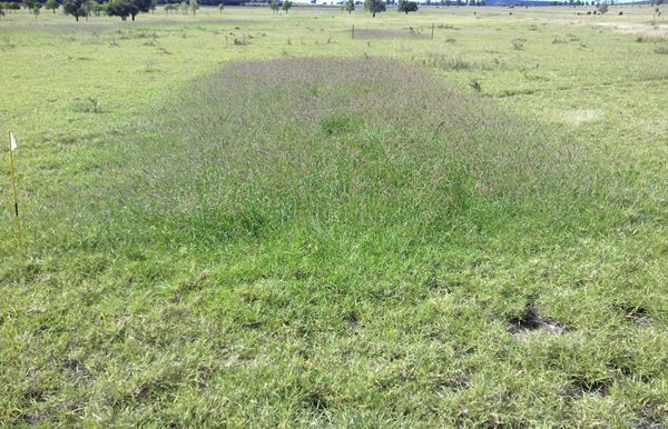 Photo 1: An example of a pasture response to nitrogen in a test strip.