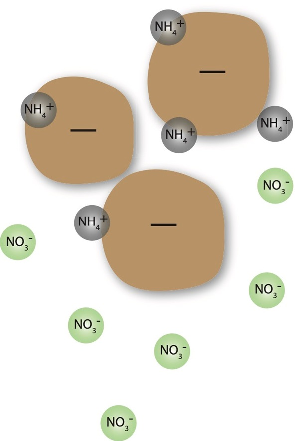 Figure 1: Nitrogen in the soil. Nitrate nitrogen (NO3-) is negatively charged and repelled by the soil, so is susceptible to leaching, while ammonium nitrogen (NH4+) is positively charged and attracted to negatively charged soil particles and organic matter.